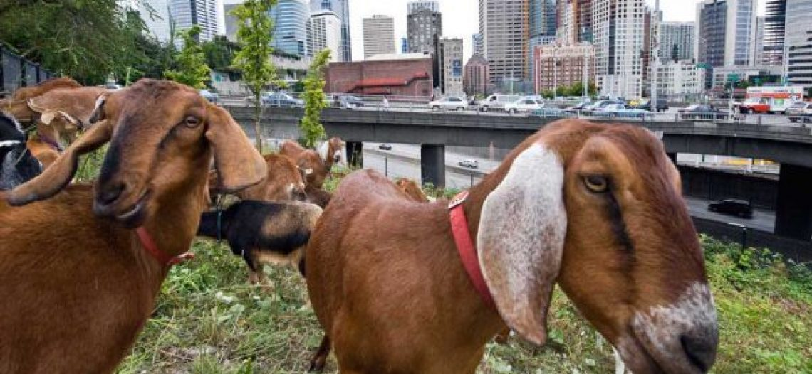Rent a Ruminant: A Franchise Creating an Industry